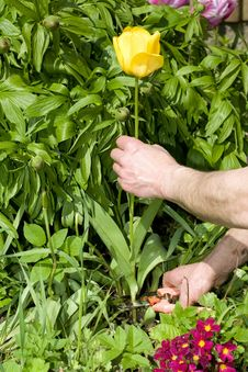 Free Pruning A Yellow Tulip. Royalty Free Stock Photos - 5091618