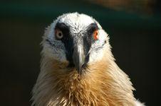 Free Hawk Royalty Free Stock Photography - 5092107