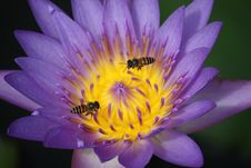 Two Bees Working On A Lotus Royalty Free Stock Images