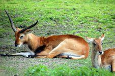 Free Lying Antelopes Stock Images - 5092814