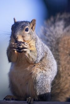 Free Squirrel Royalty Free Stock Photography - 5093217