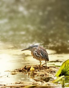 Free Greenbacked Heron On A Leaves In Water Royalty Free Stock Photo - 5093575