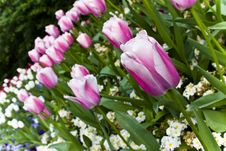 Free Pink Tulips Stock Photography - 5093642