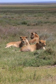 Free Lions In The Serengeti Plains Stock Photography - 5094312