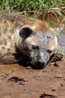 Free Spotted Hyena Stock Photos - 5094523
