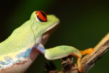 Free Red Eyed Tree Frog Royalty Free Stock Photography - 5094567