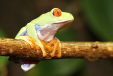Free Red Eyed Tree Frog Stock Images - 5094604