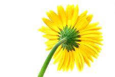 Free Gerbera Flower Royalty Free Stock Photography - 5094627