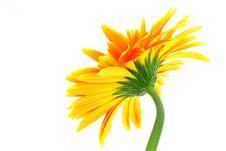 Free Gerbera Flower Stock Image - 5094671