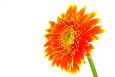 Free Gerbera Flower Stock Images - 5094704
