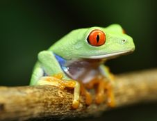 Free Red Eyed Tree Frog Stock Photos - 5094713