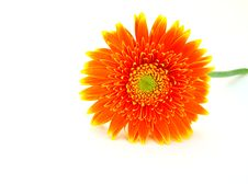 Free Gerbera Flower Stock Photos - 5094753