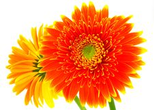 Free Gerbera Flowers Royalty Free Stock Photos - 5094778