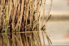 Reed In Water Stock Images