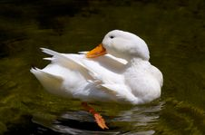 Free White Duckling Royalty Free Stock Photos - 5095038