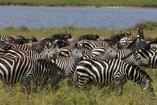 Free Zebra And Wildebeest During Migration Stock Photography - 5095042