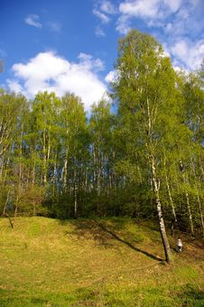 Birch Grove In Spring Royalty Free Stock Photography