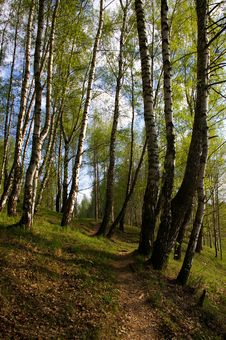 Birch Grove In Spring Royalty Free Stock Photo