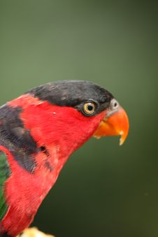 Free Black Capped Lory Stock Image - 5095391