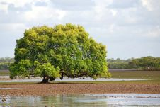 Free A Large Mangrove Tree Stock Photo - 5095680