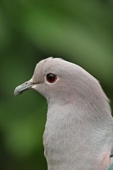 Free Pigeon Royalty Free Stock Images - 5095689