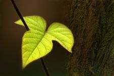 Free Isolated Green Leaf Stock Photography - 5096022
