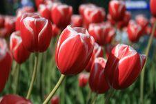 Free Purple Tulip Stock Photo - 5096880