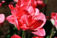 Free Pink Tulip Stock Photography - 5096942