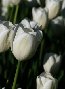 Free White Tulip Stock Image - 5097011