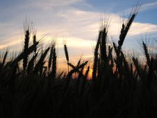 Free Wheat Silhouette Royalty Free Stock Image - 5097156