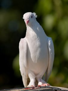 Free White Pigeon Royalty Free Stock Photography - 5097207