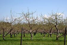 Free Apple Orchard Stock Photo - 5097230