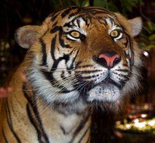 Free Sumatran Tiger Stock Image - 5097281