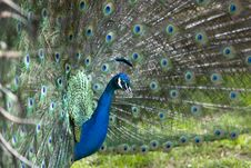 Free Peacock Royalty Free Stock Photo - 5097425