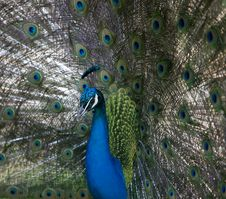 Free Peacock Stock Photo - 5097530
