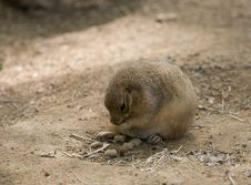 Free Prairie Dog Stock Images - 5097664