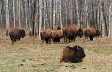 Free Bison Herd Royalty Free Stock Images - 5097699