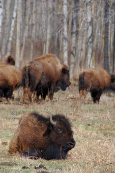 Free Bison Herd Stock Photo - 5097700