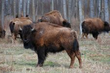Free Bison Herd Stock Photography - 5097712
