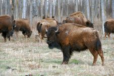 Free Bison Herd Stock Images - 5097714
