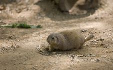 Free Prairie Dog Royalty Free Stock Photos - 5097728
