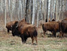 Free Bison Herd Royalty Free Stock Image - 5097746