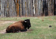 Free Bison Herd Royalty Free Stock Photo - 5097755