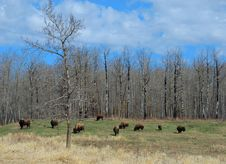 Free Bison Herd Royalty Free Stock Images - 5097759