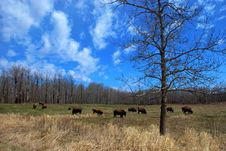 Free Bison Herd Stock Photography - 5097772