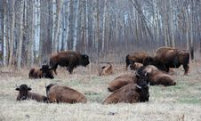 Free Bison Herd Royalty Free Stock Images - 5097979