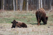 Free Bison Herd Stock Photo - 5097980
