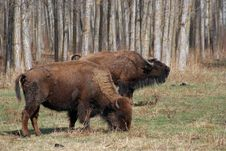 Free Two Bison Royalty Free Stock Photography - 5097997