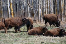 Free Bison Herd Stock Image - 5098011