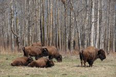 Free Bison Herd Royalty Free Stock Images - 5098039